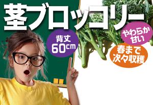 プランターで茎ブロッコリー>